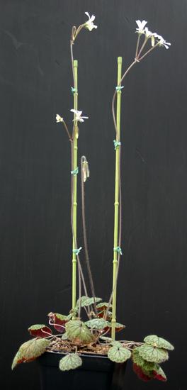 Pelargonium barklyi Img_1614