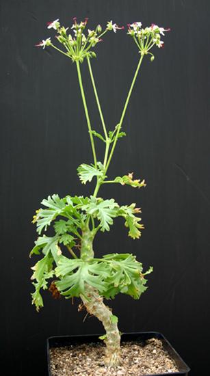 Pelargonium ……..carnosum Img_1616