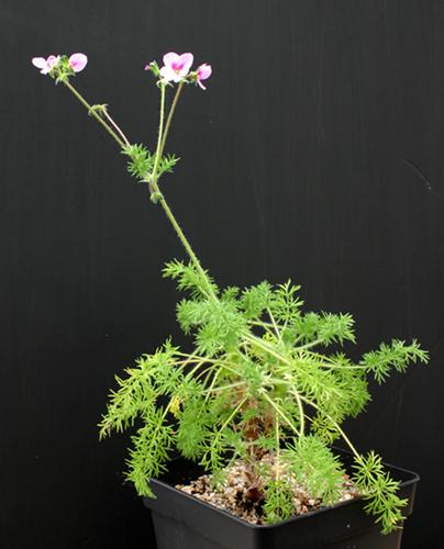 Pelargonium hirtum Img_1617