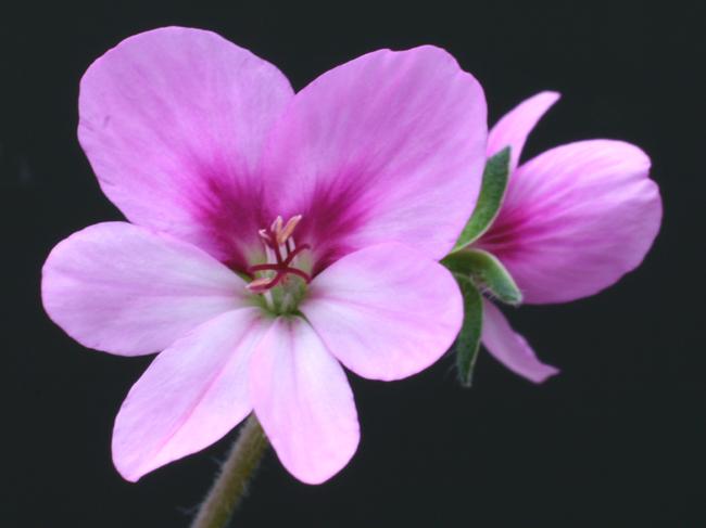 Pelargonium hirtum Img_1710