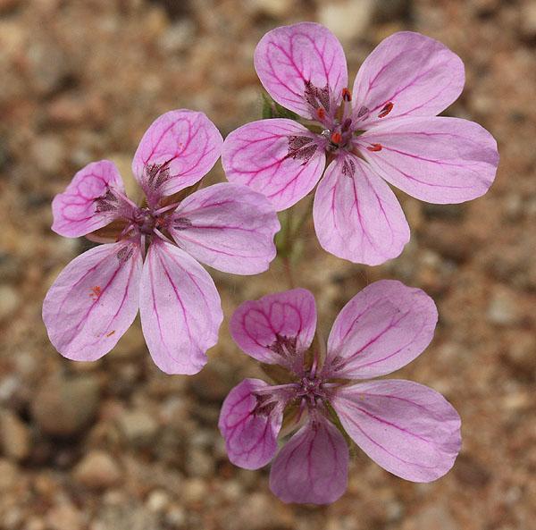 erodium chrysanthum Img_1826