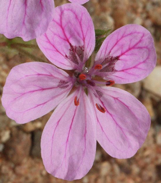 erodium chrysanthum Img_1827