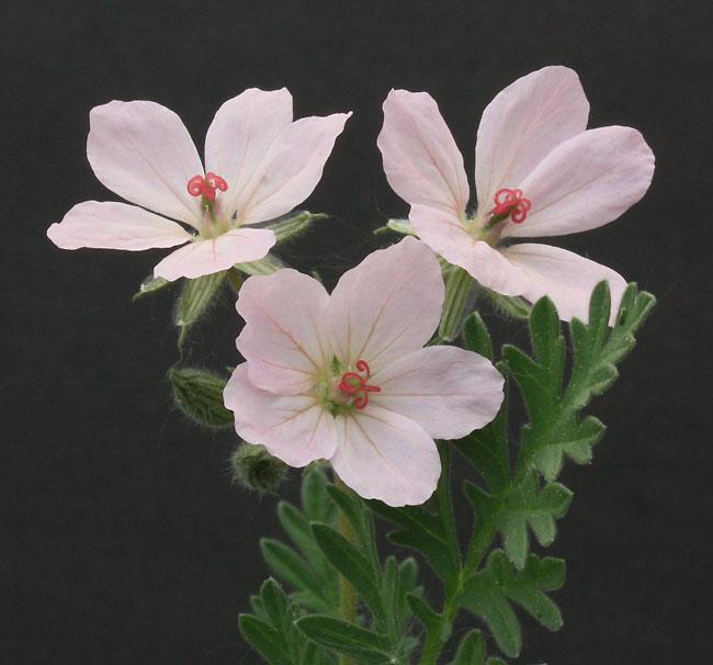 erodium chrysanthum Img_1945