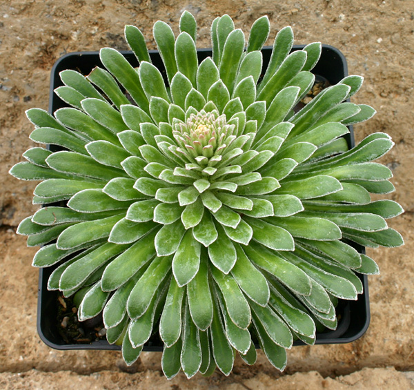 Saxifrages - Page 3 Img_2115