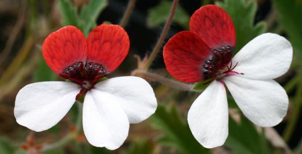 Pelargonium tricolor Img_2212
