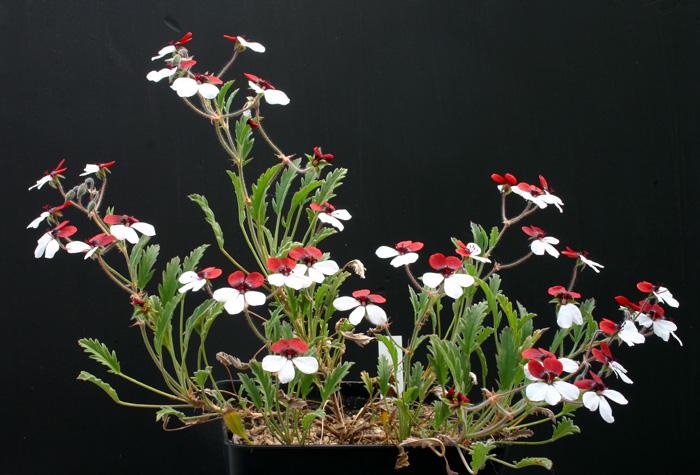 Pelargonium tricolor Img_2213