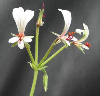 Pelargonium mollicomum Img_2411