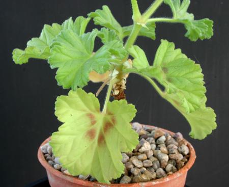 Pelargonium mollicomum Img_2412