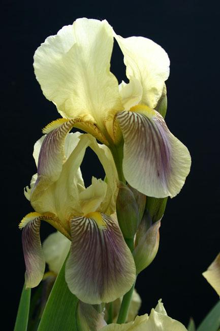 Iris schachtii Img_2618