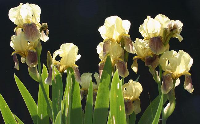 Iris schachtii Img_2619