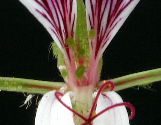 Pelargonium caucalifolium Img_2913