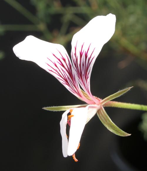 Pelargonium caucalifolium Img_3350