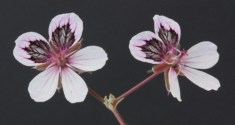 erodium chrysanthum Img_3810