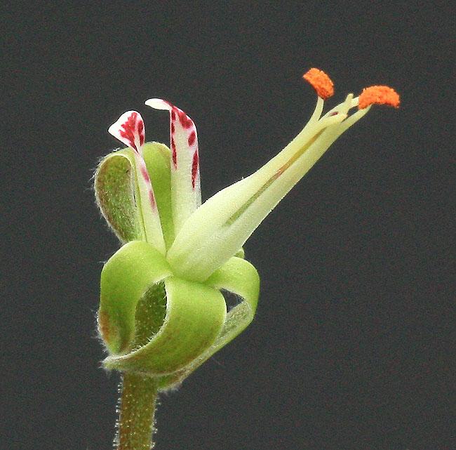 Une curiosité végétale…. Img_9013