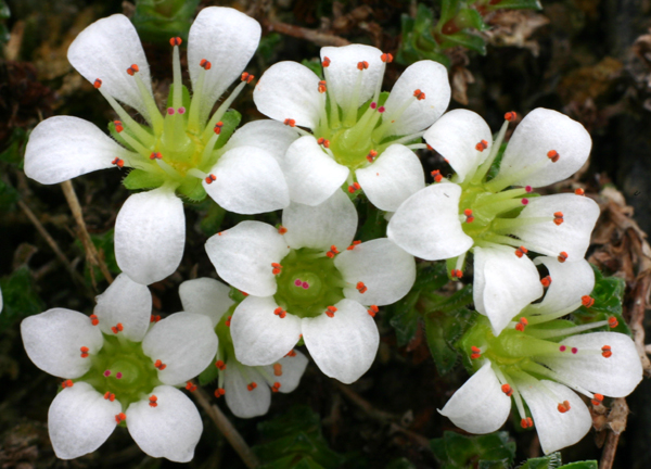 Saxifrages - Page 2 Sax_op10
