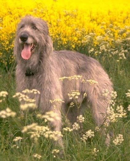 El Wolfhound Irlandés Peludo10