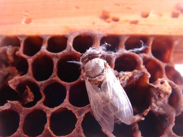 HELP!!!!une ruche sur un toit...........la saga! - Page 7 Maladi13