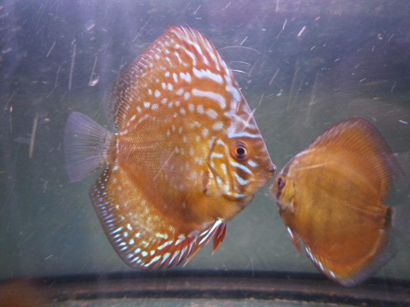 Evolution discus Phong_10