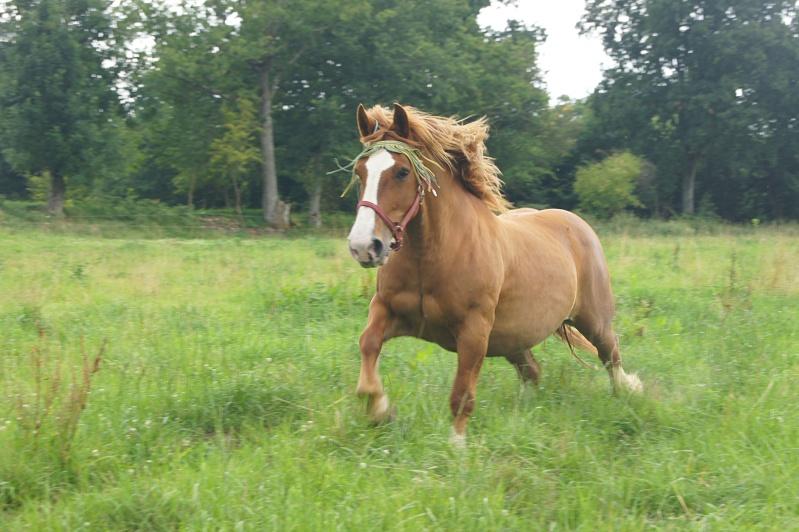 Les chevaux de trait - Page 4 Dsc07211