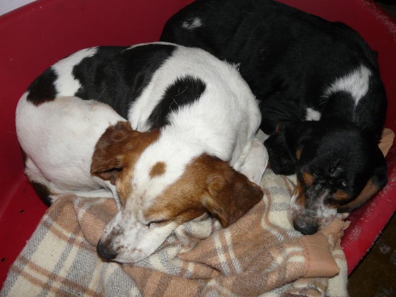 PIGNOUF -  beagle 10 ans - Spa de Poitiers (86) 161_r10