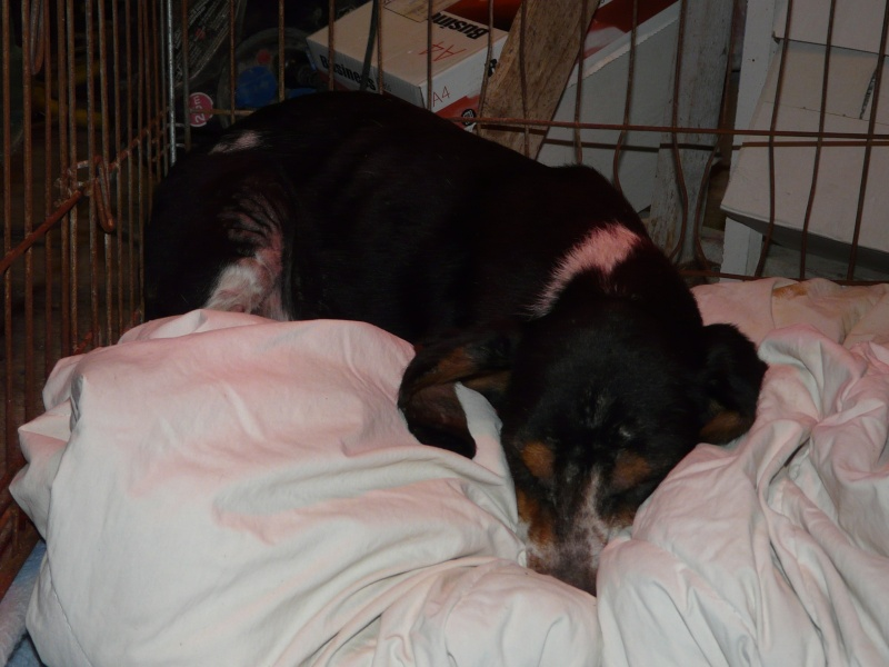 prunelle beagle 1 an 1 2 spa de poitiers 86. Black Bedroom Furniture Sets. Home Design Ideas