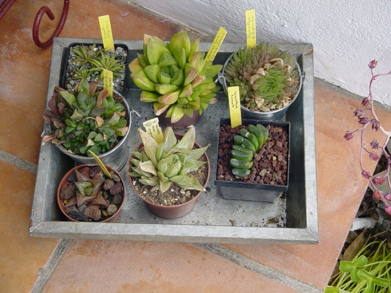 haworthias Mes_ha10