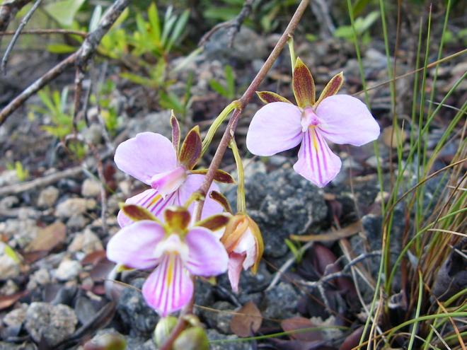 Orchidées de Guadeloupe Dscf8610