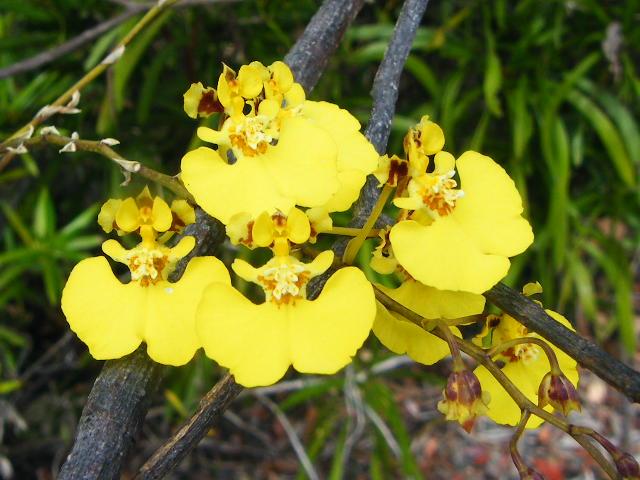 Orchidées de Guadeloupe Dscf8710