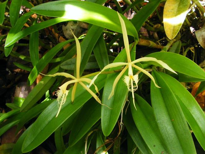 Orchidées de Guadeloupe Dscf8711