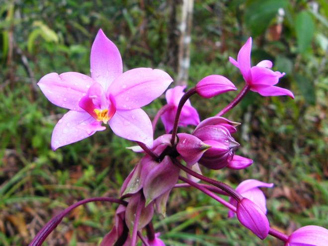 Orchidées de Guadeloupe Dscf9410