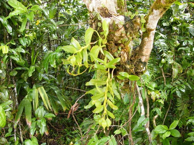 Orchidées de Guadeloupe, encore. Dscf9510