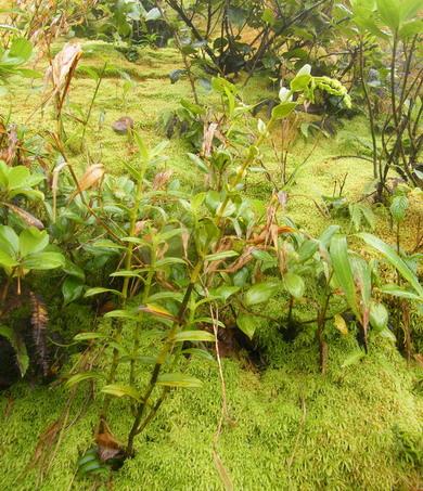 Orchidées de Guadeloupe Dscf9711