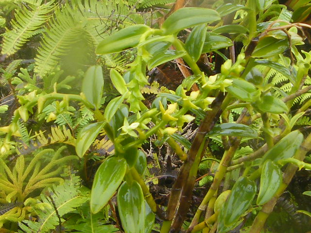 Orchidées de Guadeloupe Dscf9712