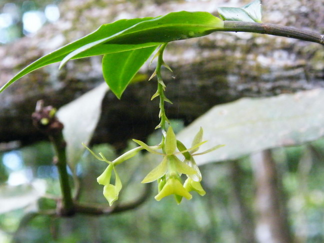 Orchidées de Guadeloupe Dscf9713