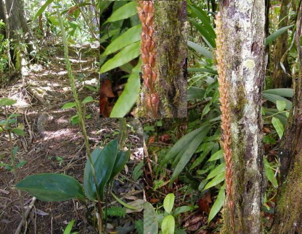Orchidées de Guadeloupe Presco10