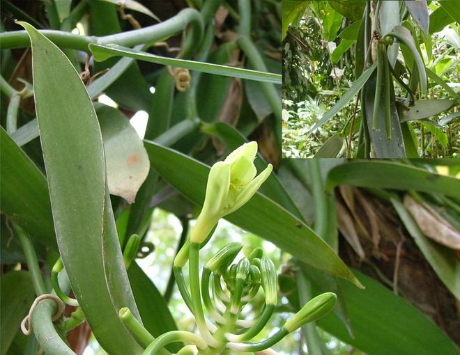 Orchidées de Guadeloupe, encore. Vanill10