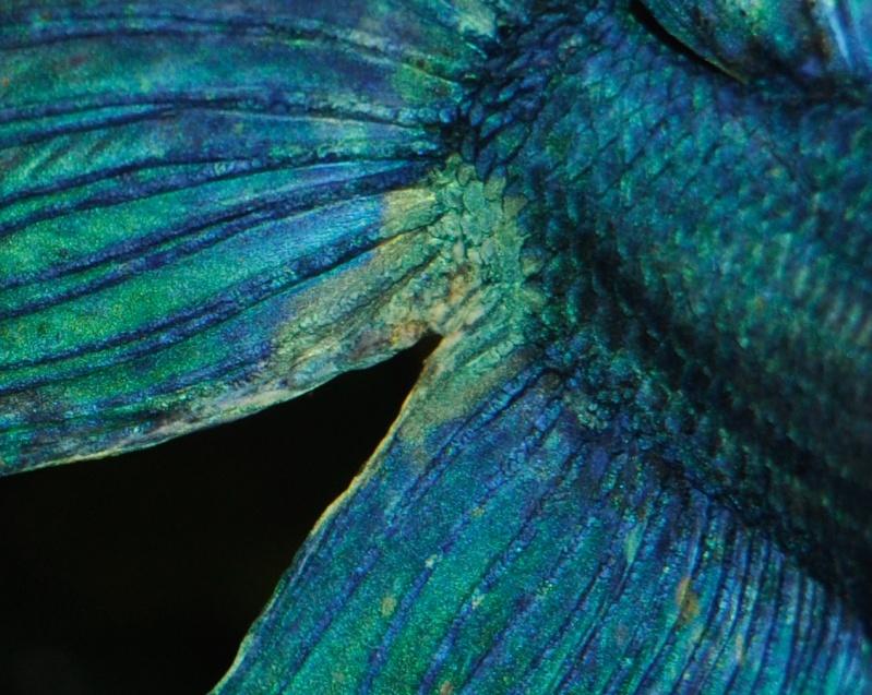 membrane entre anale et caudale? Ko-que10