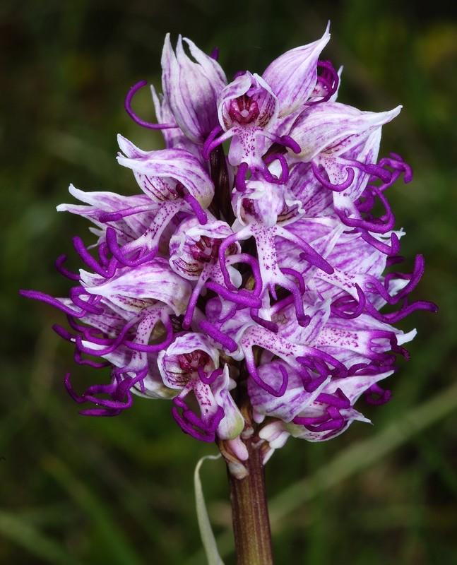 orchis simia ( Orchis singe ) Dsc_0026
