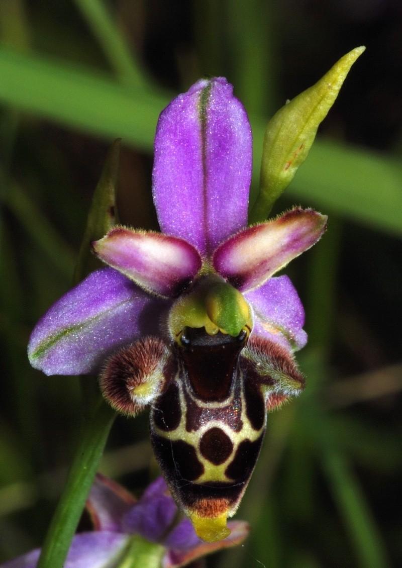 Ophrys gresivaudanica ( Ophrys du Grésivaudan ) Dsc_0043
