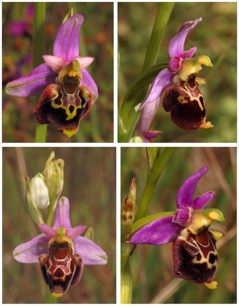 les ophrys tardifs de la région (84 et 26) - Page 2 Elatio10