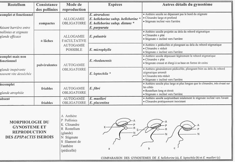 Aide à l'identification des Epipactis Epipac11
