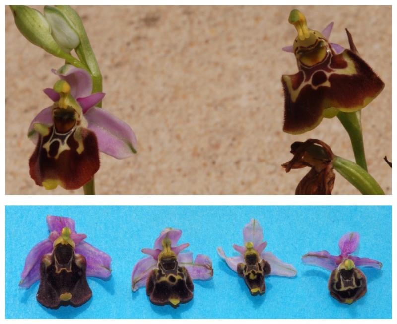 les ophrys tardifs de la région (84 et 26) - Page 2 Fucifl10