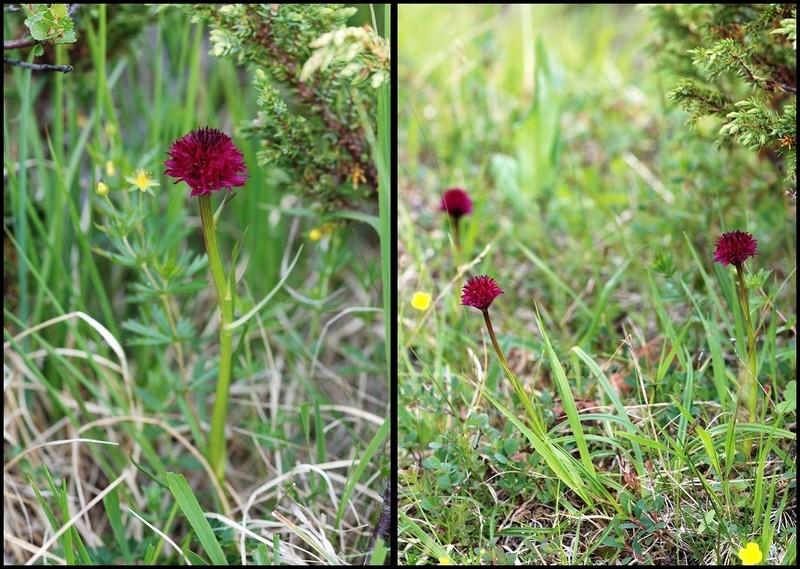 Gymnadenia s.l. en Scandinavie, juillet 2008 G_rune10