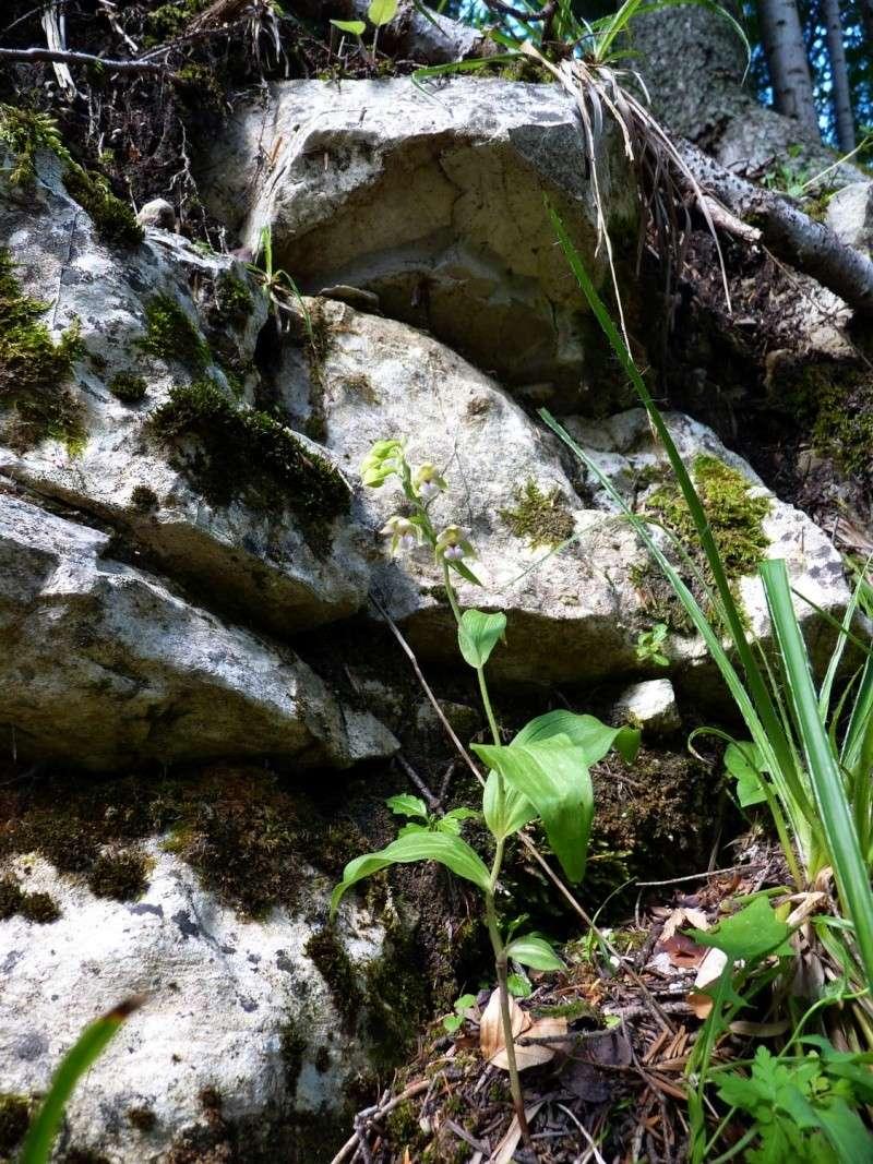 Epipactis helleborine subsp minor... photos Helleb16