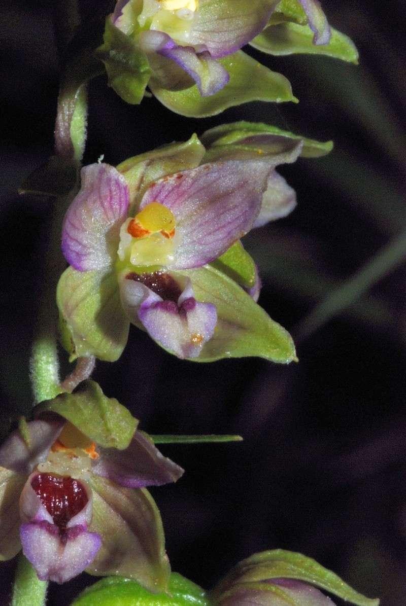 Epipactis helleborine subsp minor... photos Helleb18