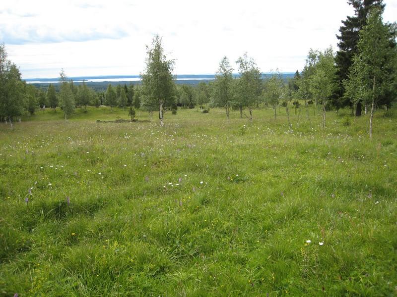 Gymnadenia s.l. en Scandinavie, juillet 2008 Img_1513