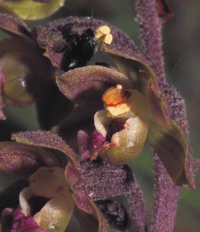 Epipactis kleinii ( Epipactis à petites fleurs ) Kleini11