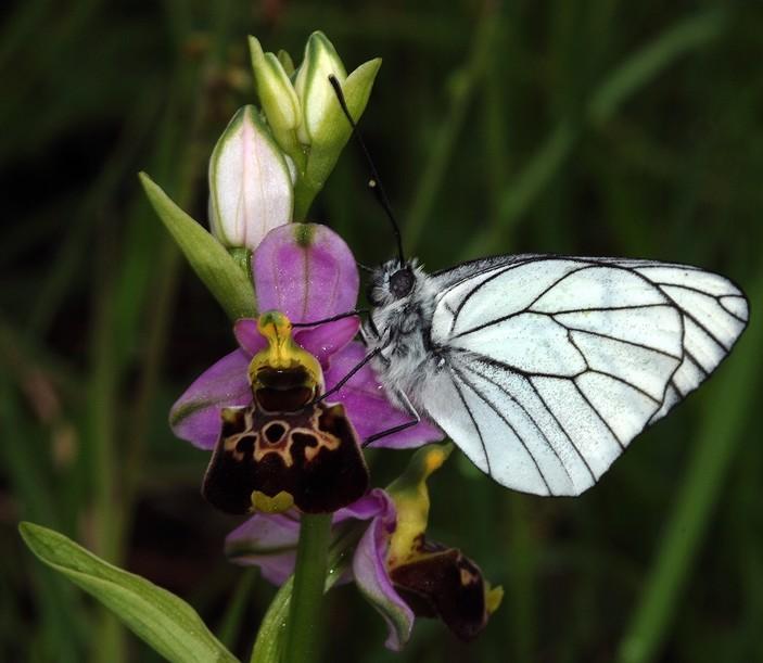 Ophrys fuciflora ( Ophrys frelon  ) O_fuci12