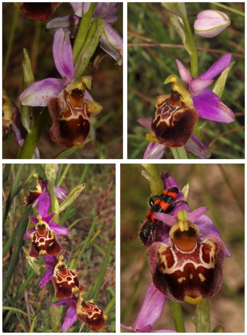 les ophrys tardifs de la région (84 et 26) - Page 2 O_fuci13
