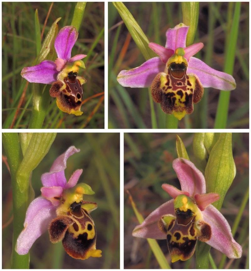 les ophrys tardifs de la région (84 et 26) - Page 2 O_gres11